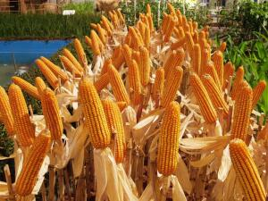 Как вырастить вкусную кукурузу в Сибири?