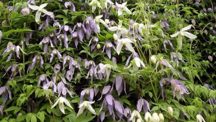 Роскошное обильное цветение