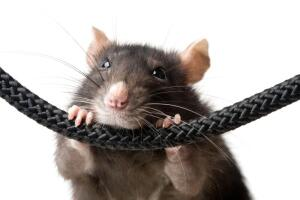 Не заблуждаемся ли мы относительно крыс?