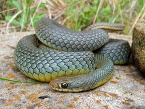 Какие змеи встречаются в Черногории?