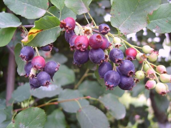 Созревает ирга - любимая ягода пернатой братии