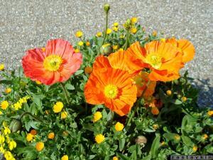 Цветы шафраны бархатцы анютины глазки