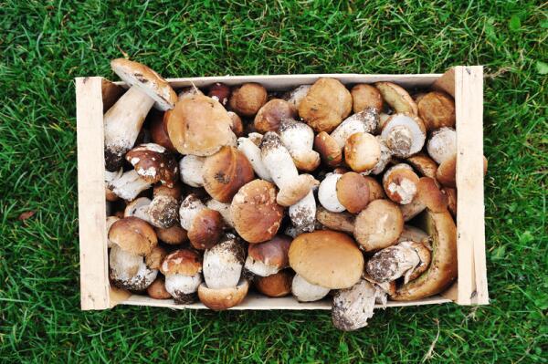 Когда собирать грибы в лесу?