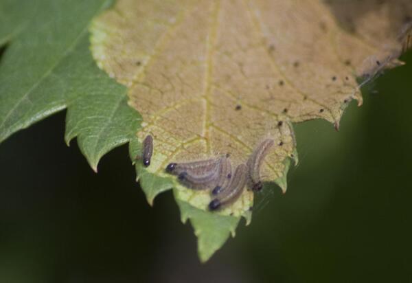 Гусеницы боярышницы на листе боярышника