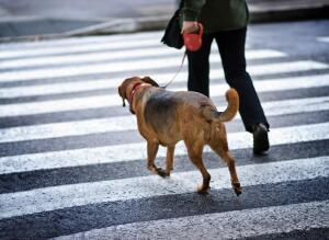 Как приучить собаку ходить рядом?