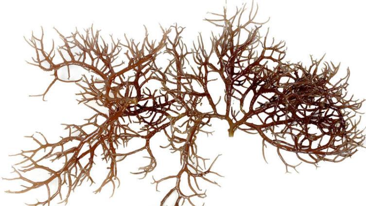 Чем полезна морская капуста?