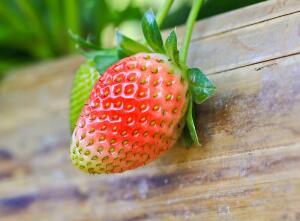 Как размножить клубнику?
