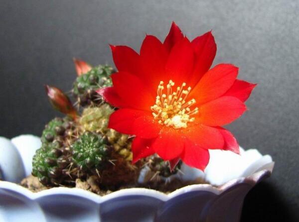 Кактусы - излюбленный объект красного клещика