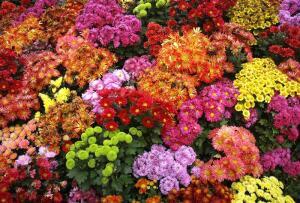 Как разводить хризантемы?