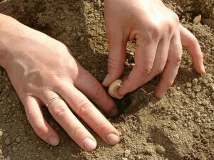 Как подготовить участок для выращивания чеснока?