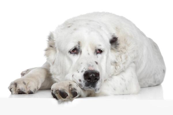 Как выбрать собаку для охраны дома?