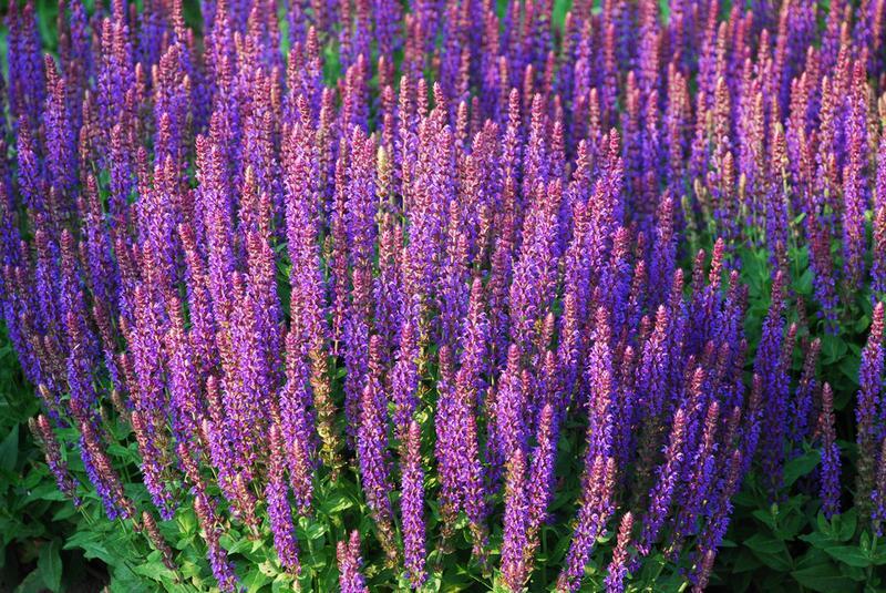 Цветы шалфей фото