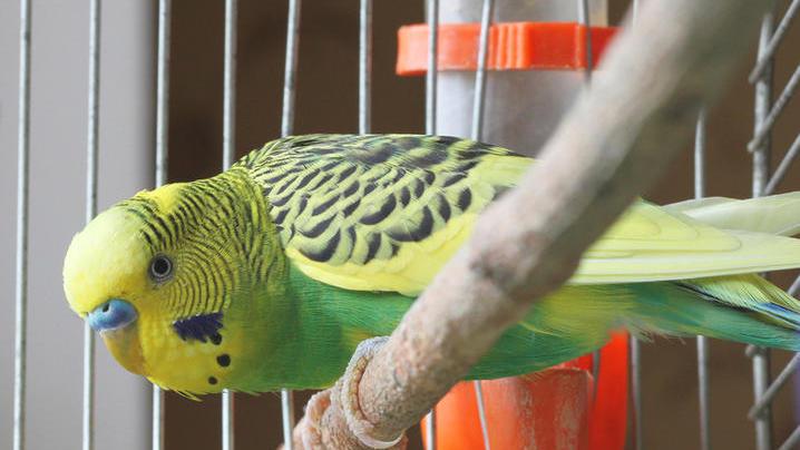 Как обустроить клетку для попугаев?