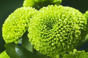 Непревзойдённая королева осени - хризантема. За что мы её любим?