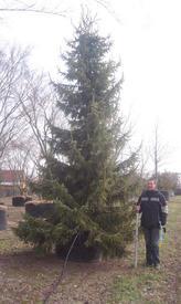 А вот и взрослая шестиметровая сербская ель, питомник в Германии.