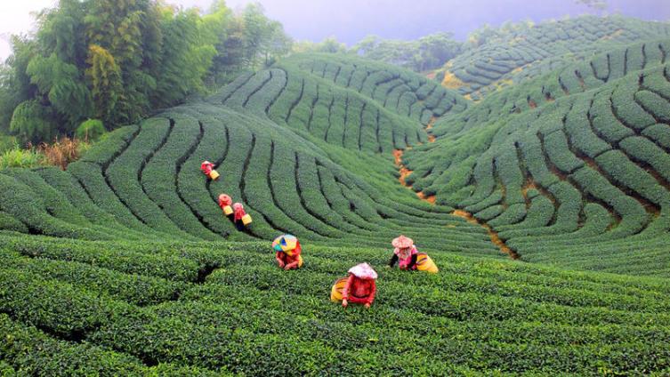 Остров Тайвань. Чайная жизнь?