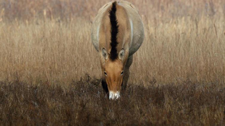 Куда исчезли лошади Пржевальского?