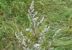 А степная трава пахнет горечью... Что нам известно о полыни?