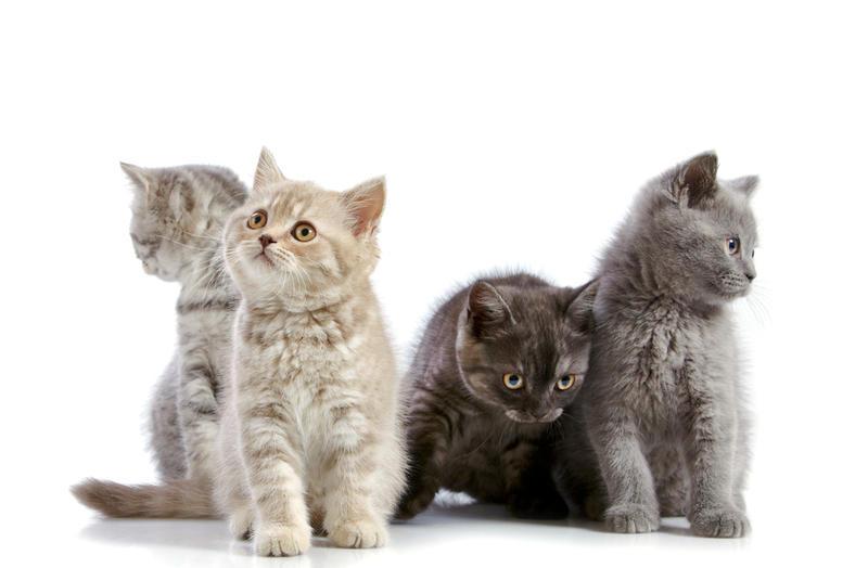 Породы бенгальская кошка стандарты