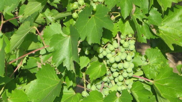 Созревающая гроздь винограда