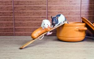 Как кормить домашнюю крысу?