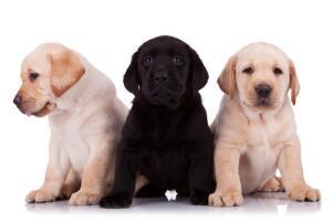 Как выбирать щенка из помета?