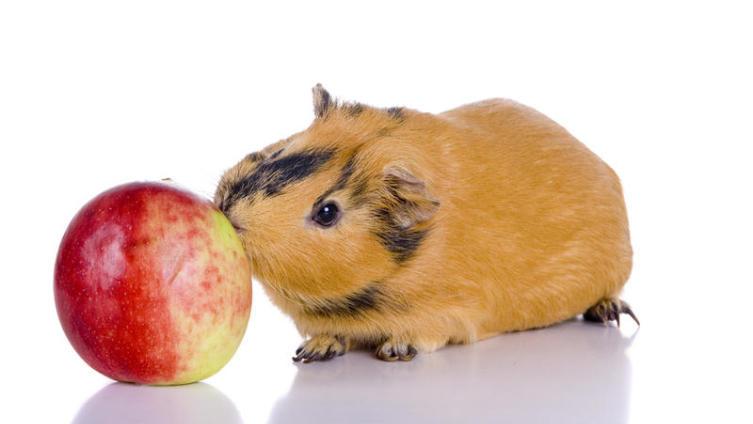 Чем кормить морскую свинку?