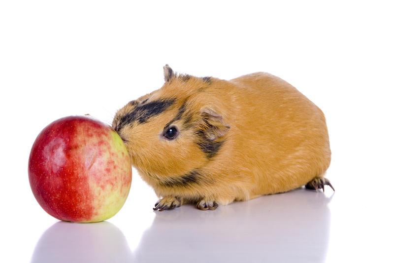 Чем кормить морских свинок в домашних условиях можно 253