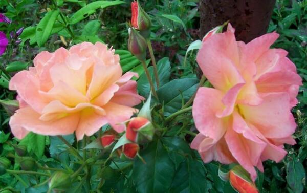 Цветет плетистая роза