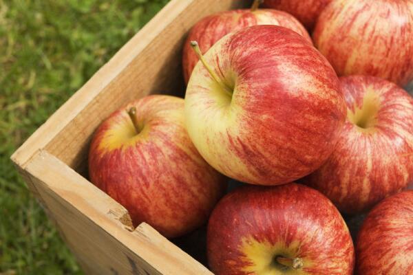 Как хранить зимние сорта яблок?