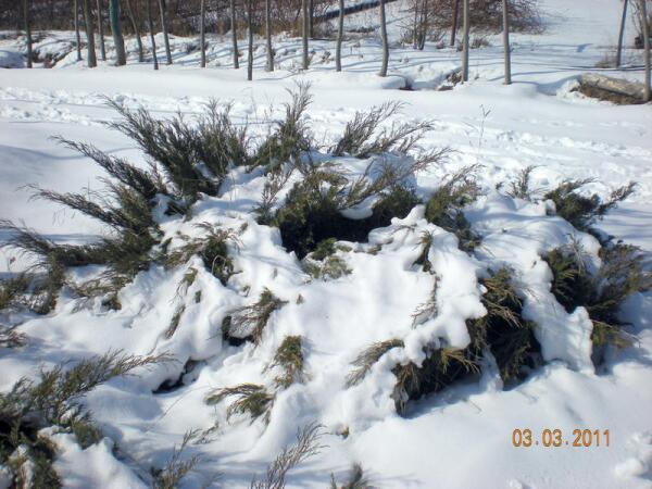 Можжевельник казацкий в снегу