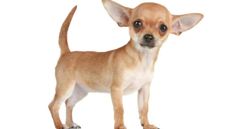 Чихуахуа. Что это за собака?