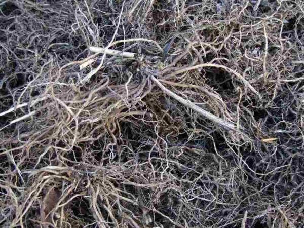 Сухие корневища с корнями валерианы