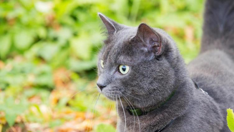 Как надевать шлейку на кошку?