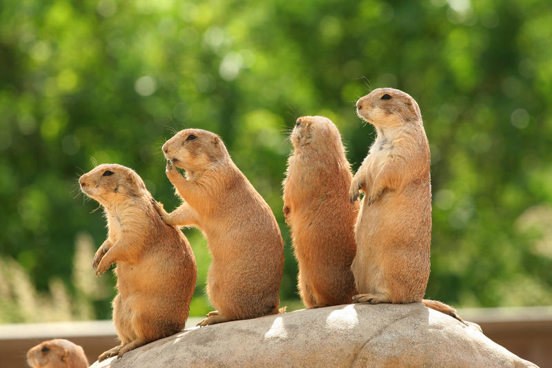 Семейство грызунов