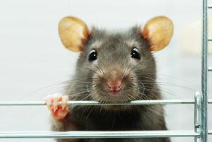 Какого грызуна выбрать? Дикобраз, долгоног, мышь, крыса, хомяк
