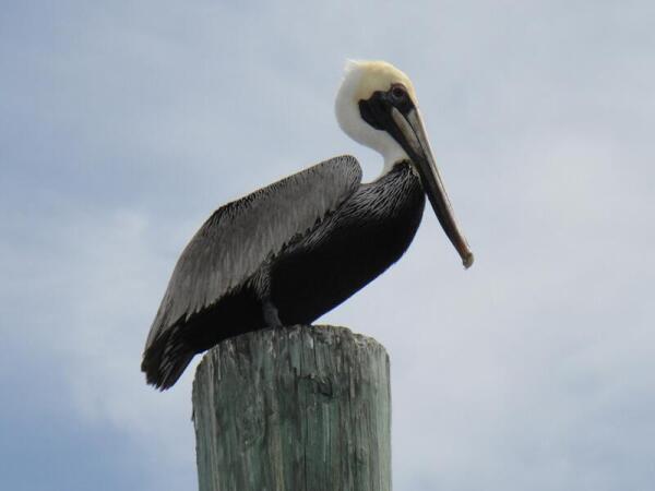 Пеликаны здесь почти ручные