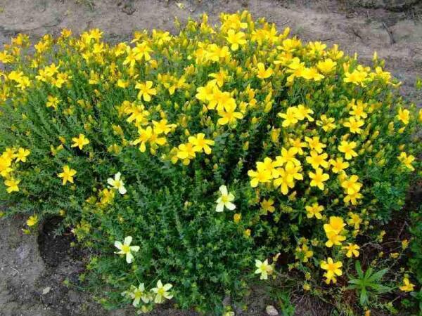 Зверобой не только полезное, но и декоративное растение