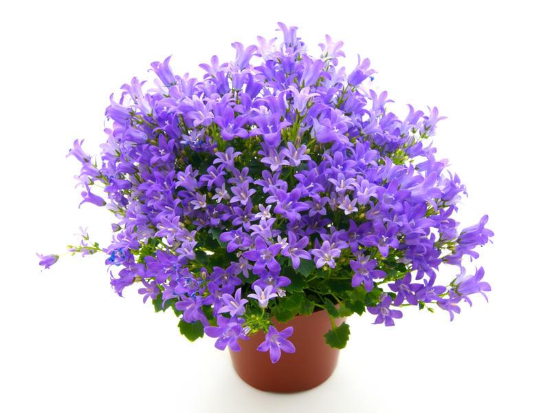 Кампанула цветок купить, цветов курске радищева