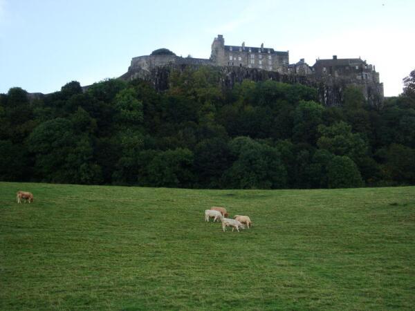 Замок Стёрлинг. Коровы.