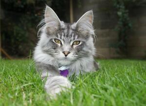 Мейн-кун - большая кошка или маленькая рысь?