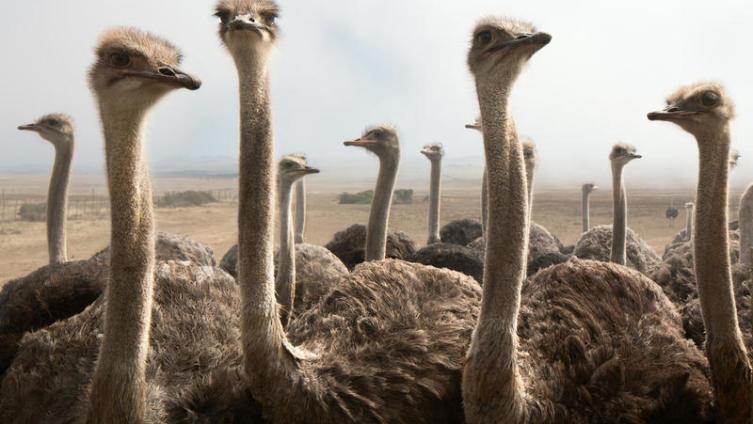 А не съездить ли нам в гости к страусам?