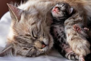 Как принять роды у своей кошки?