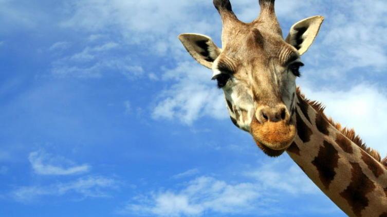 Далеко ли от жирафы до сарафана?