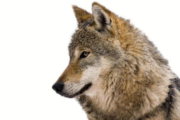 Человек и волк: существует ли мистическая связь на самом деле?