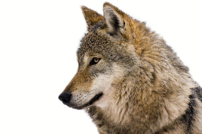 Человек и волк ���е��в�е� ли ми��и�е�кая �вяз� на �амом