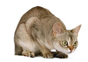 Сингапура. В чём особенности мини-кошки?