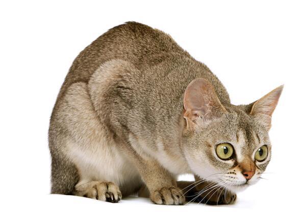 В чём особенности мини кошки