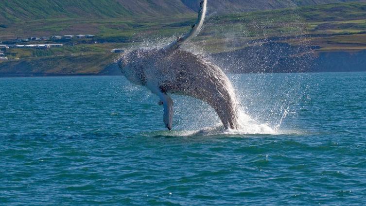 Китовое сафари в Исландии? Незабываемо!