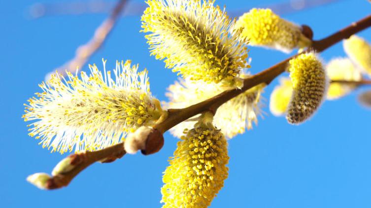 Цветущая верба - предвестник весны?